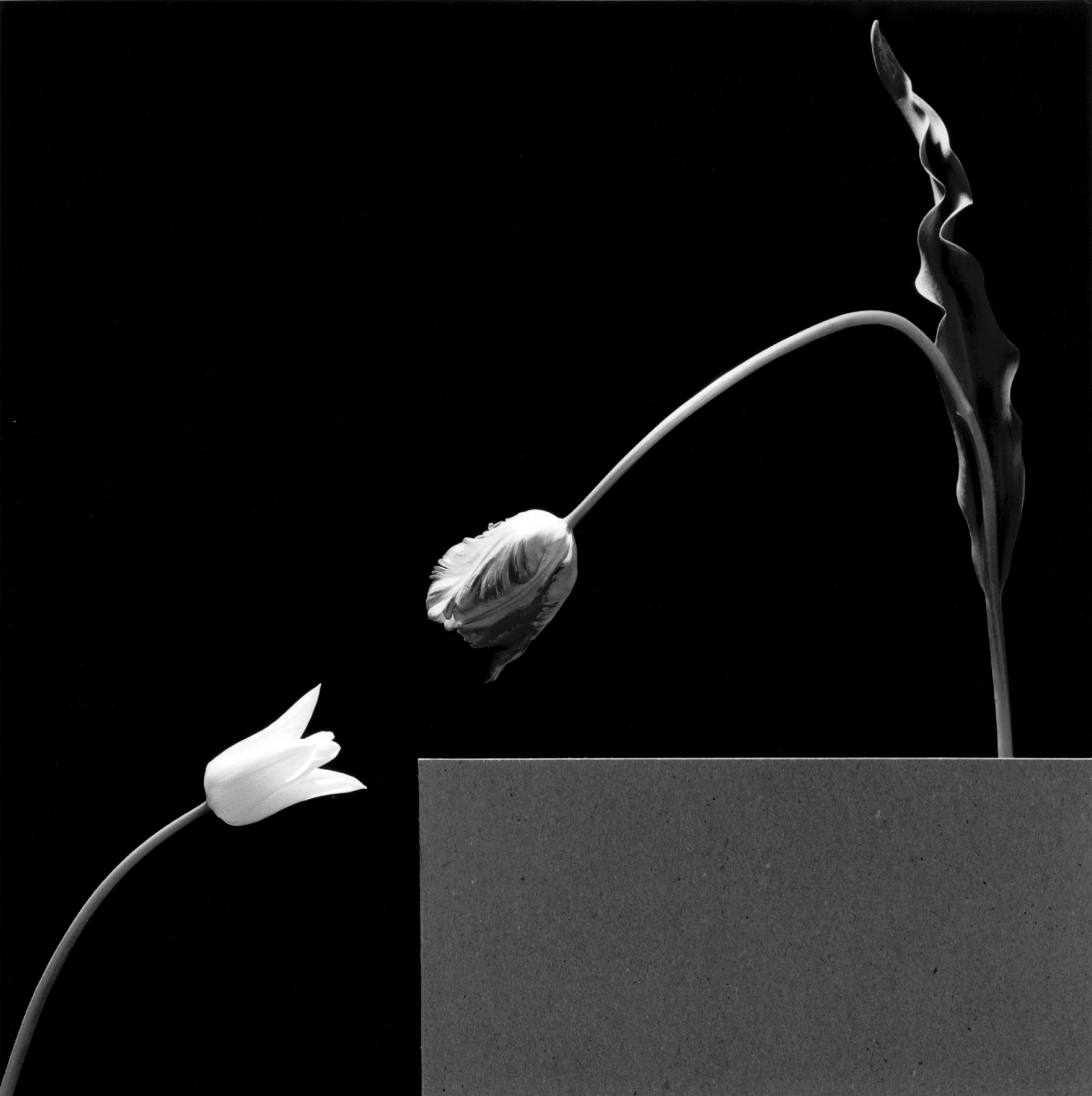 Robert Mapplethorpe - Due tulipani - 1984