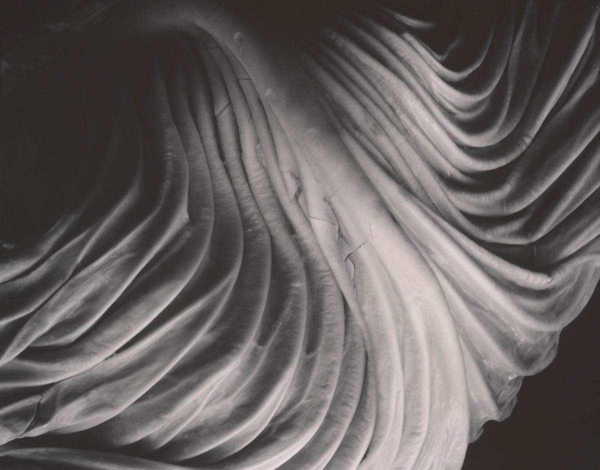Edward Weston, Cabbage Leaf, 1931, © 1981 Center for Creative Photography, Arizona Board of Regents