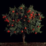 Tal Shochat, Israel. Pomegranate (Rimon), 2010, Art Fund Collection of Middle Eastern Photography at the V&A and the British Museum