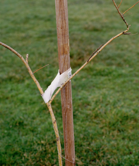 Jeff Wall, A Sapling supported by a Post, 2000, lightbox, 56.2 x 47 cm, Courtesy dell'artista