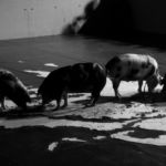 Santiago Sierra - The Hellenic peninsula devoured by pigs - 2013 - Courtesy Prometeogallery, Milano