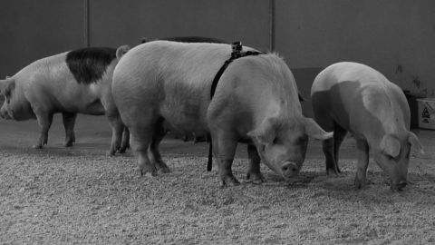 Santiago Sierra - The Iberic peninsula devoured by pigs - 2013 - Courtesy Prometeogallery, Milano
