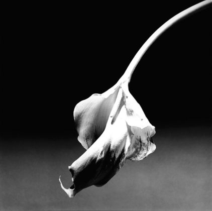 Robert Mapplethorpe, Calla Lily, 1986 - © Robert Mapplethorpe Foundation