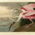 John James Audubon (1785-1851) Roseate Spoonbill from. The Birds of America London 1827-1838