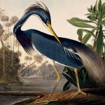 John James Audubon's Louisiana Heron illustration