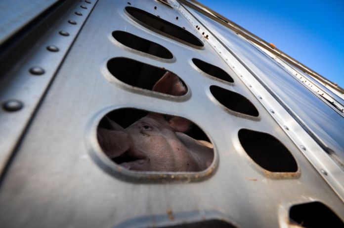 Jo-Anne McArthur, Pig Going to Slaughter, Canada 2012