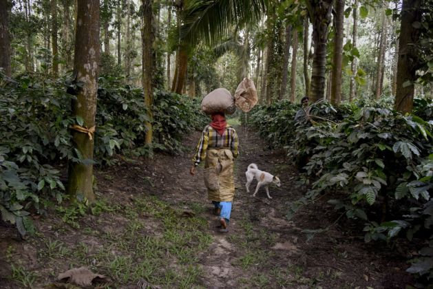 Steve McCurry, A farmer carries a sack of coffee beans on her head, Karnataka, India, 2014