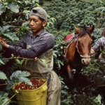 Steve McCurry, Plantation workers harvest coffee cherries, La Esperanza, Colombia, 2005