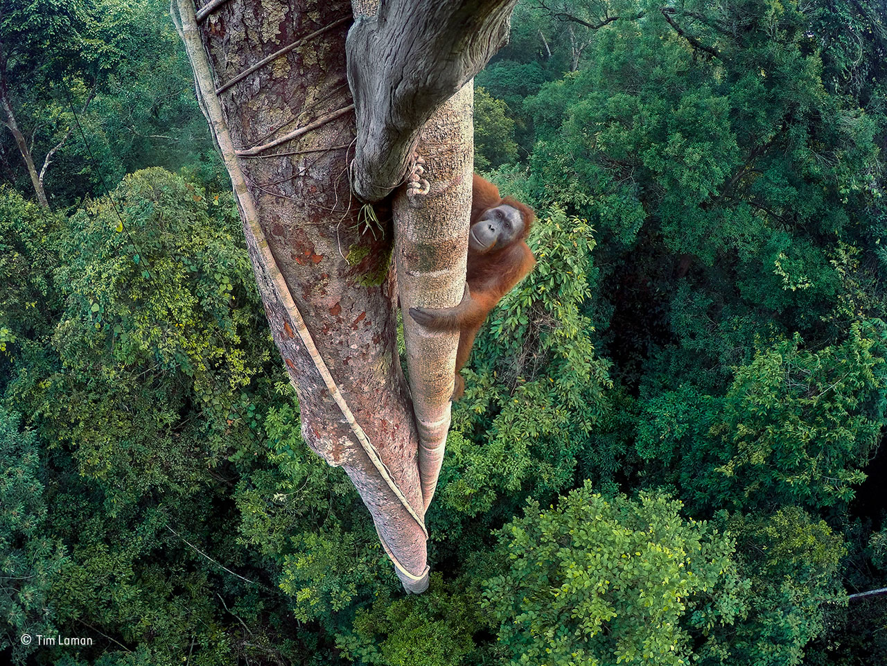 Tim Laman, Entwined lives. Wildlife Photographer of the Year 2016. Winner