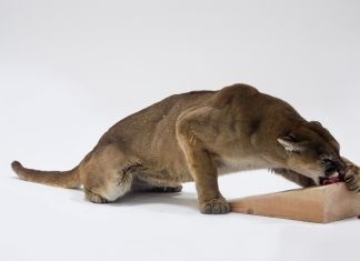 Charles Ray – Mountain Lion Attacking a Dog