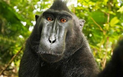 Il celebre selfie del macaco indonesiano