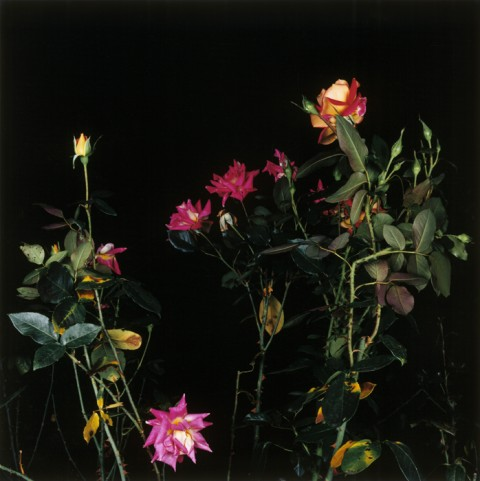 Sarah Jones, The rose gardens (orange), 2002 - copyright l'artista