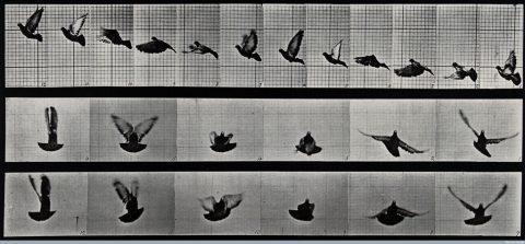 Eadweard Muybridge, A cockatoo flying,  1887 - Wellcome Library, Londra