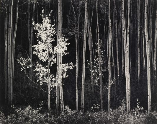 Ansel Adams, Aspens, Northeran, New Mexico, 1958 - Courtesy by Photographica FineArt Gallery, Lugano