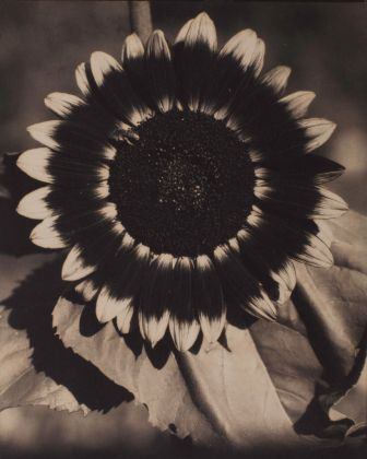 Edward Steichen, A Bee on a Sunflower, c. 1920. Brown-toned palladium print on paper, 241 x 197 mm. The Sir Elton John Photography Collection. Courtesy Tate, London