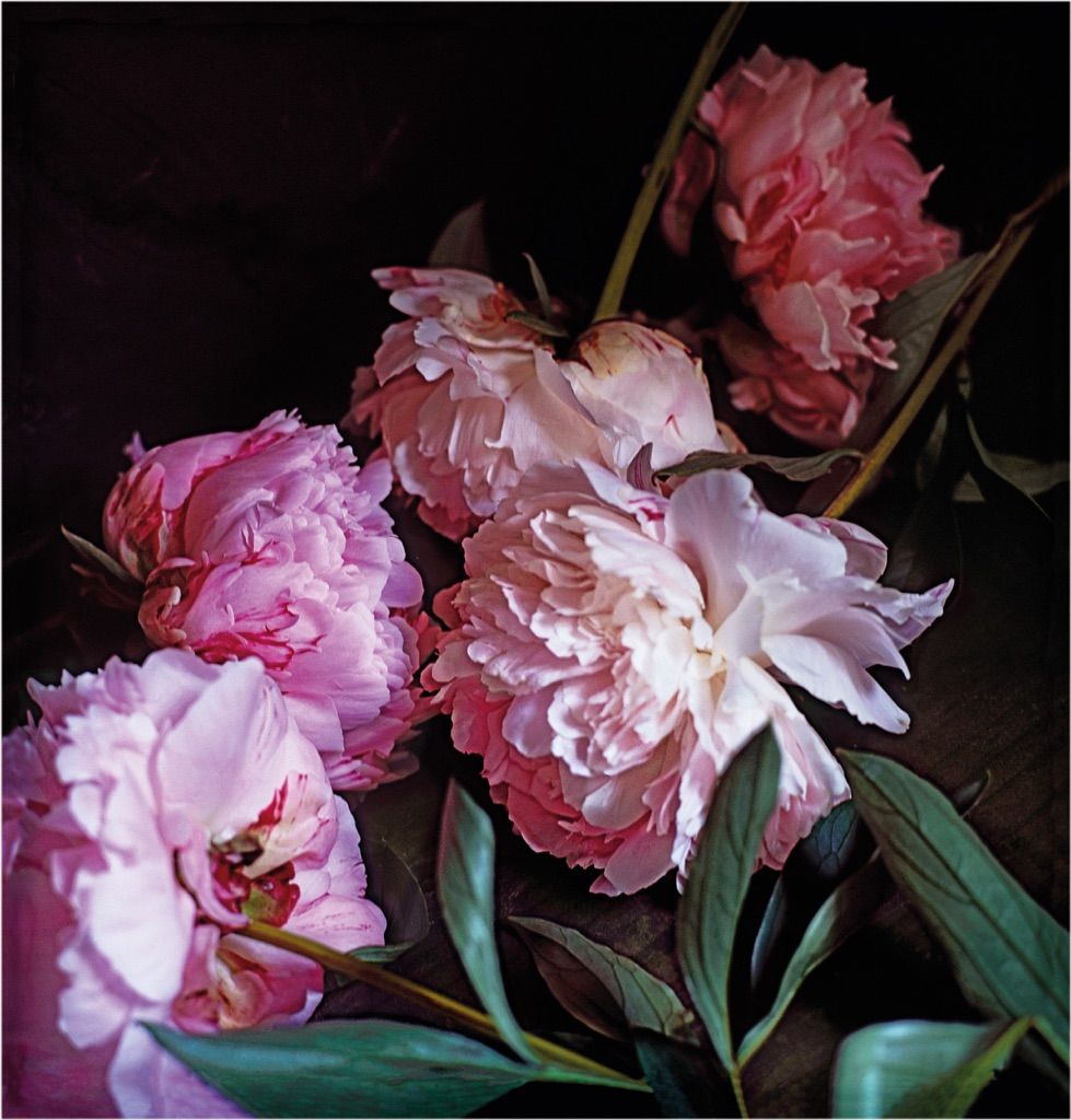 Craigie Horsfield, Five Peonies, 2013