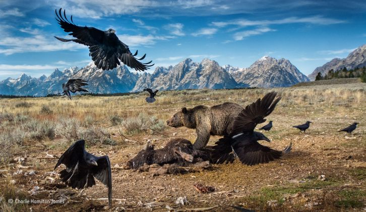 Charlie Hamilton James, Wild West stand-off. Wildlife Photographer of the Year 2016. Finalist, Mammals