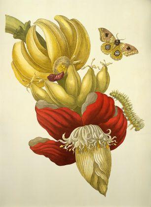 Maria Sibylla Merian, Fiore e frutti di banano, incisione, dalla Metamorphosis insectorum Surinamensium, Amsterdam 1705, © bpk / Staatsbibliothek zu Berlin / Ruth Schacht