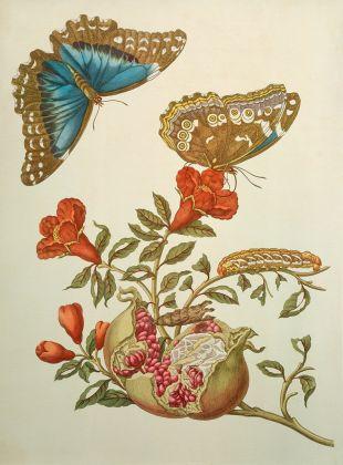 Maria Sibylla Merian, Melograno e farfalla, incisione, dalla Metamorphosis insectorum Surinamensium, Amsterdam 1705, © bpk / Staatsbibliothek zu Berlin / Ruth Schacht