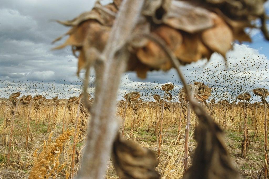 ©Rebecca Norris Webb, Blackbirds, from My Dakota