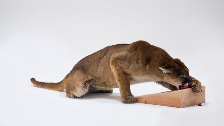 Photographic Study for Mountain Lion Attacking a Dog © Charles Ray. Photo Joshua White