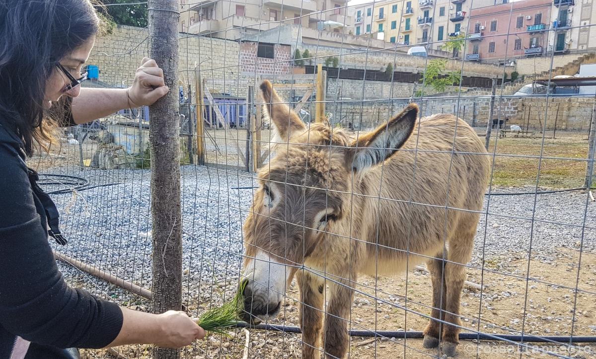 L'asino dei Danisinni, nell'orto-fattoria, photo Rossella Puccio