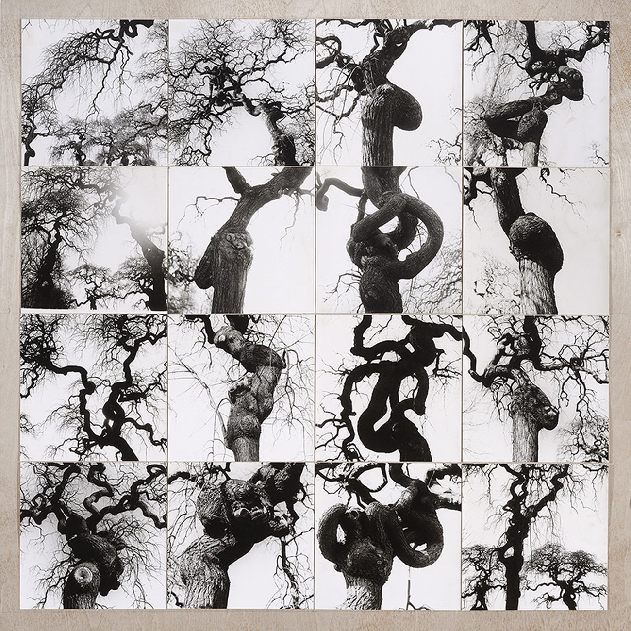 Cesare Leonardi, Sophora japonica var. pendula, 1965. Photo Cesare Leonardi, AACL