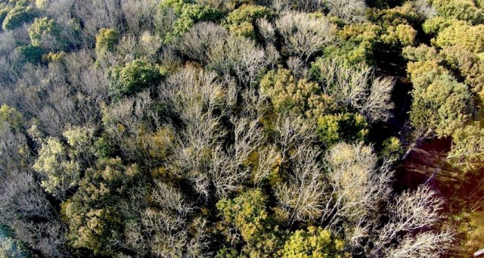 Kent Downs affected ash trees