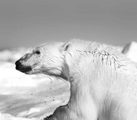 Carsten Egevang © Thule, Groenlandia, 2013