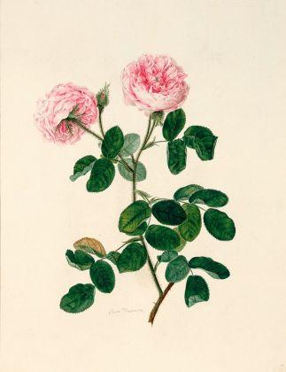 Johann Knapp, Rosa muscosa, 1800. Albertina Museum, Vienna