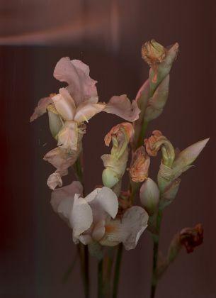 Anna Skladmann, 'Bearded Iris' – Ghost In The Machine, Chromogenic Print mounted on Aluminium © Anna Skladman