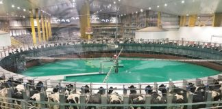 International Baladna cows' general assembly at the world's largest rotary milking machine, holding 100 cows. Photo © Petra Blaisse