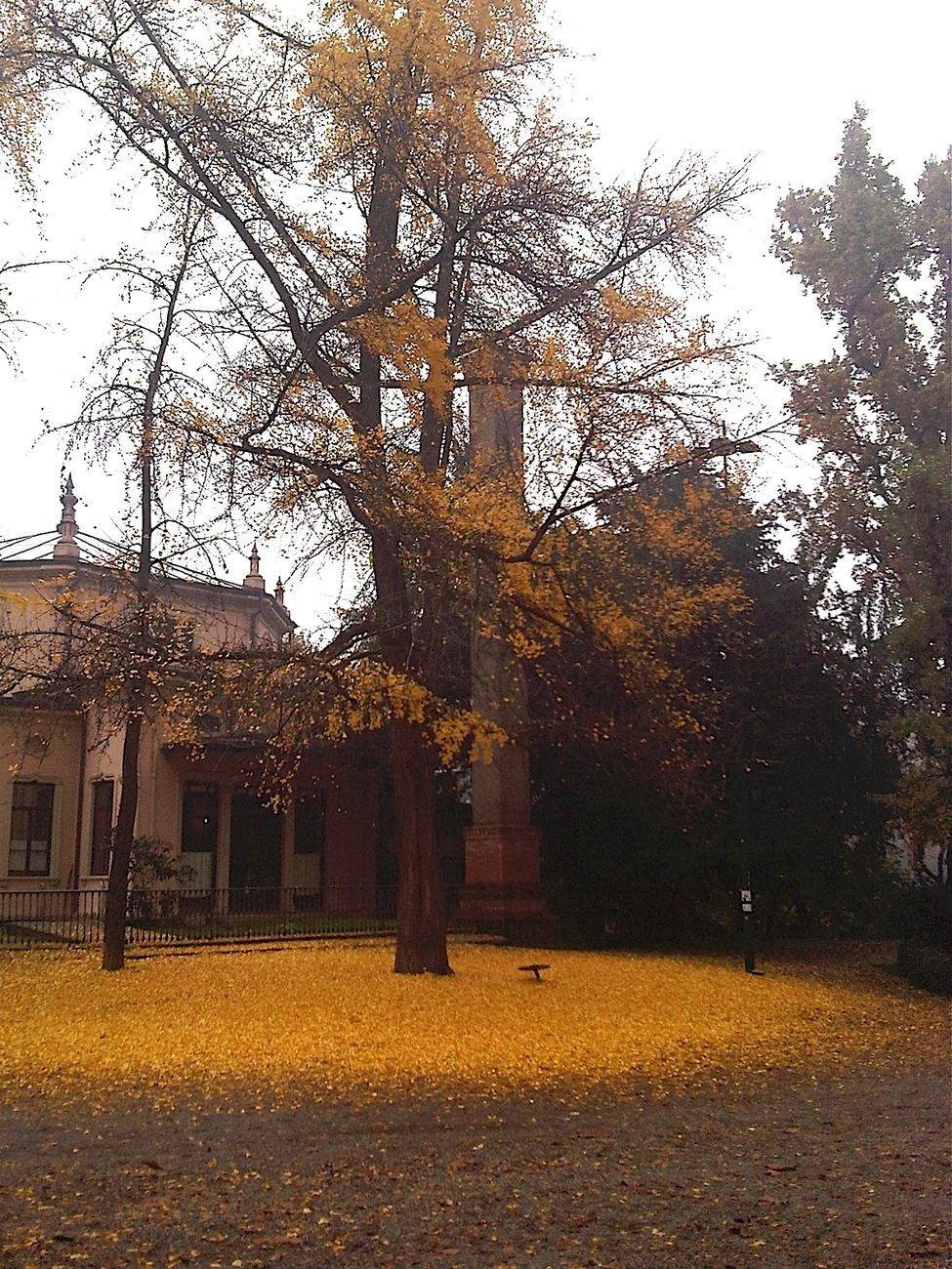 Giardini pubblici a Milano. Foliage del Ginko Biloba. Photo Claudia Zanfi