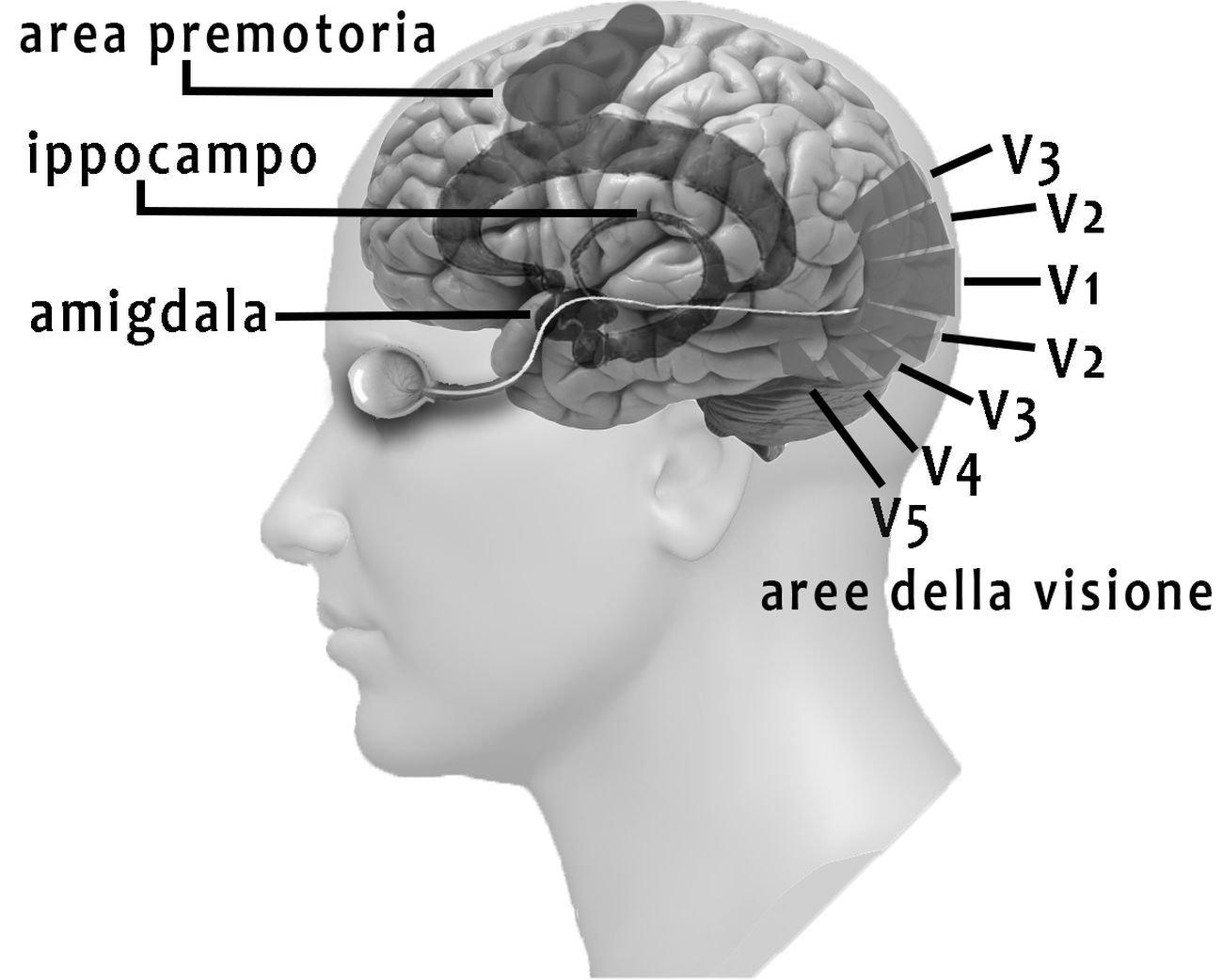 Il cervello. Immagine Angela Savino & Ottavio De Clemente