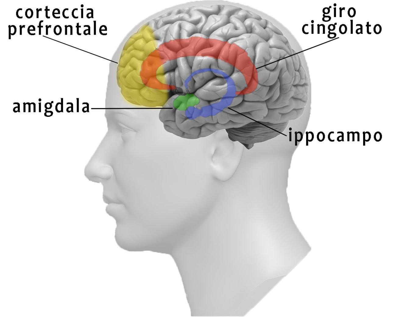 Aree cerebrali del giro cingolato, nuclei della base, ipotalamo e amigdala © Angela Savino & Ottavio De Clemente
