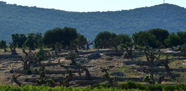 Veduta del campo di olivi, Galatina, 2019
