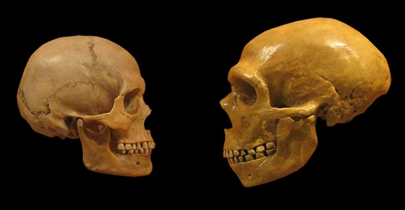 Sapiens Neanderthal comparison (original photo), DrMikeBaxter (derivative work), CC BY SA 2.0 _https___creativecommons.org_licenses_by sa_2.0_, via Wikimedia Commons